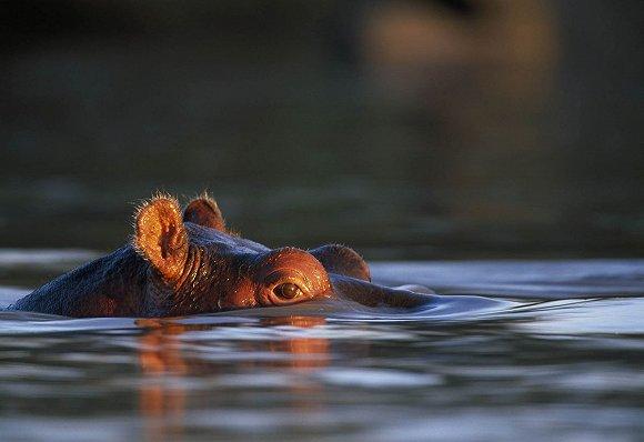 Photographer: Paul Souders/Getty Images 白天,河马基本躲在马拉河的淤泥中乘凉,夜晚出来吃草。这样看来,它们好像是动物世界中最悠闲快乐的生物。然而,当它们凶性大发之时,便会成为非洲最危险的动物。它们攻击人类,次数还不少。但有趣的是,它们有时会从鳄鱼口中救出动物。 死亡凝视