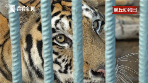他们常去距离王公庄最近的商丘动物园看老虎