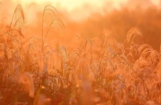 """这里除了丹顶鹤和滩涂上大片赤碱蓬形成""""红地毯"""",这里的芦苇也很美丽."""