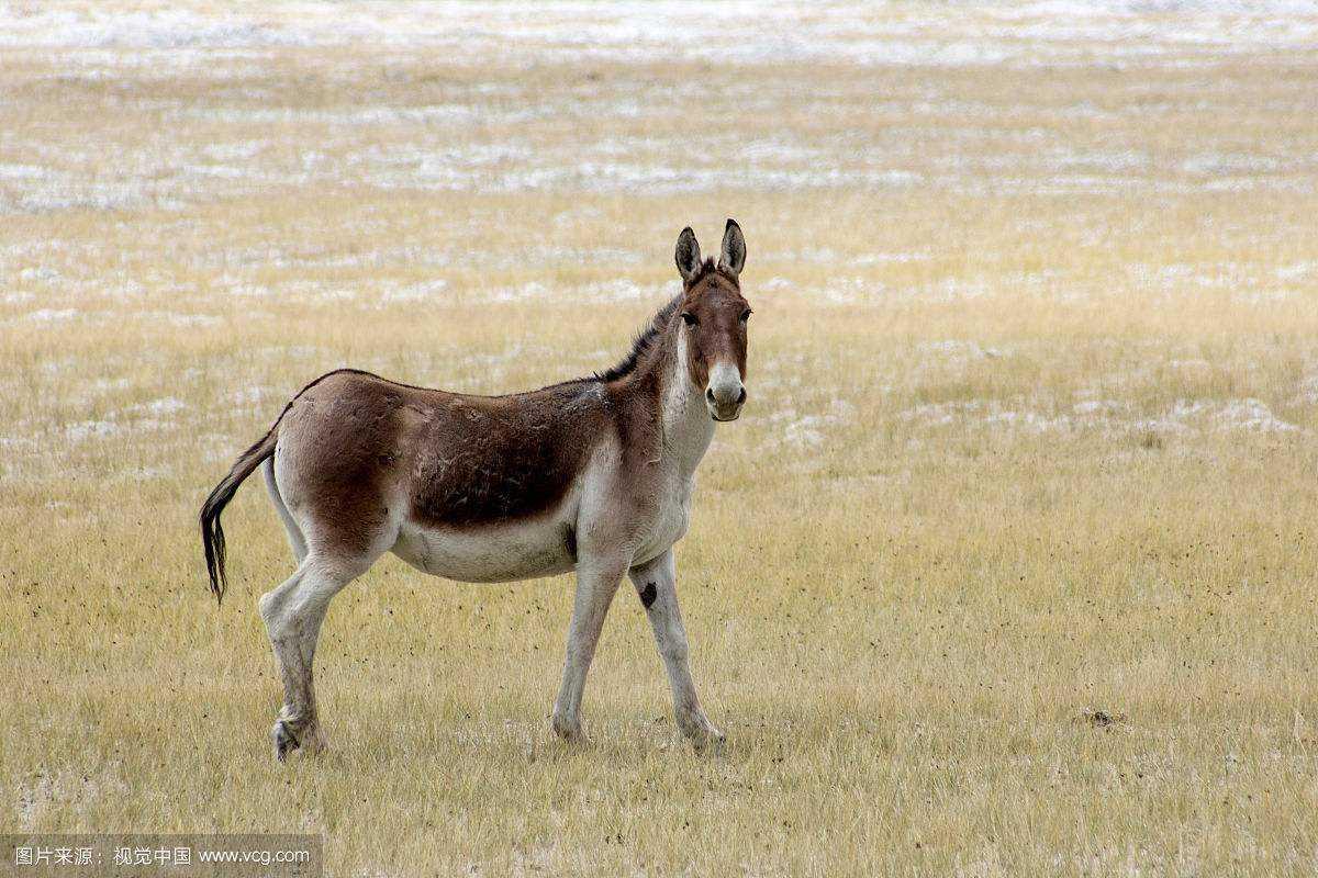 生活在羌塘的动物大多是青藏高原独有的濒危野生动物,其中包括被称为