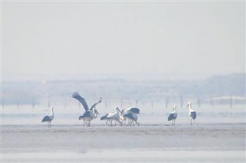 国家一级保护动物东方白鹳现身杭州湾湿地