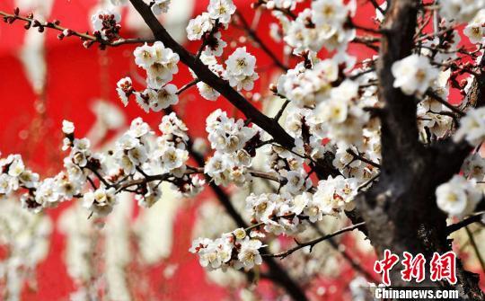 洁白如玉的梅花点缀在灰褐色的树枝上,别有一番景致。 海辉摄