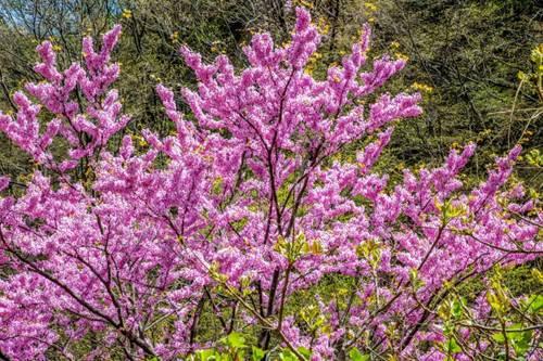 尧山山花节赏花路线大揭秘用双眼丈量来自初春的美意