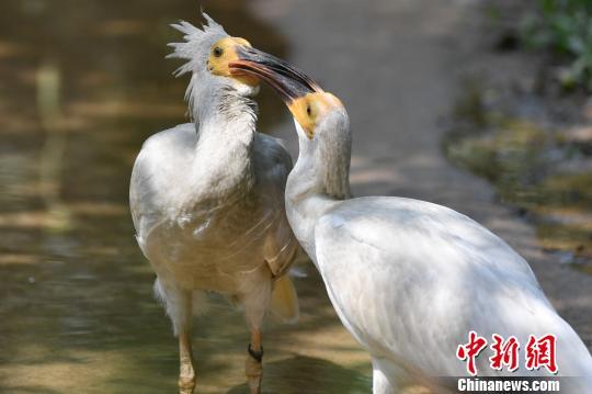 濒危物种朱鹮在华南繁育成150多只种群