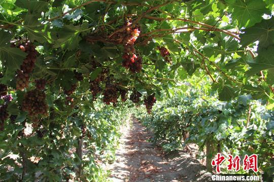 新疆兵团第二师二十四团目前葡萄种植面积达1.39万亩,年产葡萄1万多吨,年产值达5000万以上。 戚亚平摄