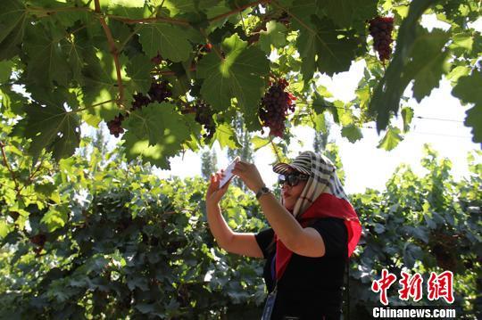 海外华文媒体走进新疆兵团第二师二十四团葡萄种植基地采访。 戚亚平摄
