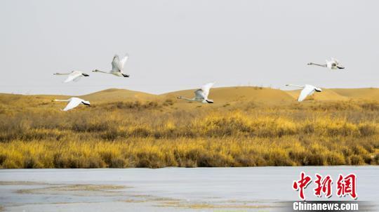 图为甘肃敦煌阳关国家级自然保护区的越冬候鸟。 王斌银摄