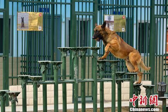 图为搜救犬训练。 杨昊摄