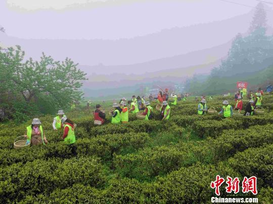 湖南安化35萬畝茶園開園2019年茶產業目標220億元
