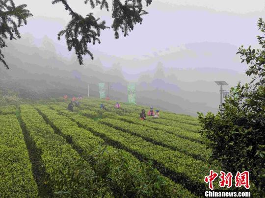 湖南安化縣35萬畝茶園全面開采。 付敬懿攝