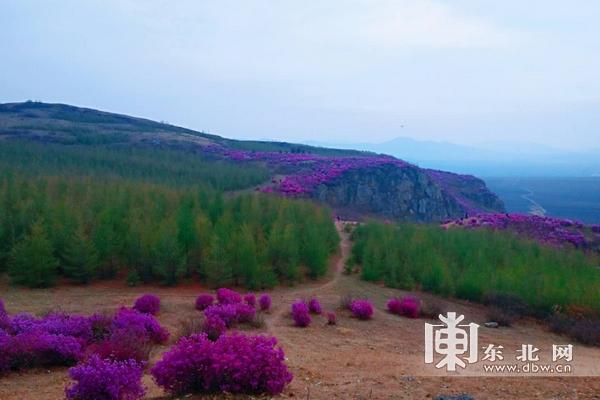随着春季的到来,位于佳木斯市郊区群胜乡的杜鹃山风景区兴安杜鹃盛开