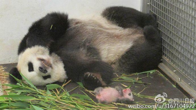 """返回首页 分享 [1/6] 7月2日,旅居比利时天堂动物园大熊猫""""好好""""和"""""""