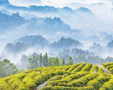 壁纸 成片种植 风景 植物 种植基地 桌面 390_310