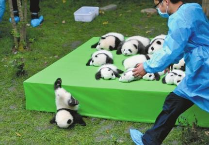 """熊猫宝宝摔了一下,摔成了""""世界最佳照片"""""""