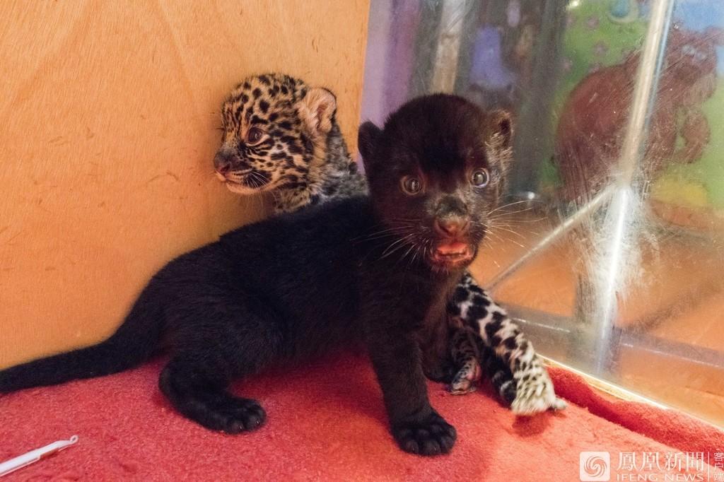 """杭州野生动物世界:美洲豹龙凤胎一只""""黑化""""了"""