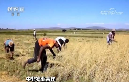 中国杂交水稻非洲创高产纪录 有望解决非洲粮食安全问题