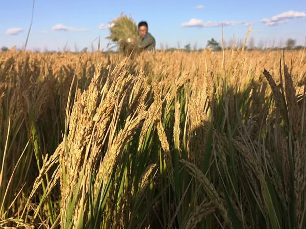 """智慧農業:共同開發合力促進中國農業轉型 首批水稻收割測評成功證明了中國的智慧農業4.0,從此便不再只是一個概念,而是有實踐、有規模、有成果的存在。今年袁隆平""""海水稻""""團隊首次在中國五大主要類型鹽堿地上同時進行""""海水稻""""試種并結合四維改良法進行鹽堿地稻作改良的示范,鹽堿地上建設了數字化高標準的稻田。據了解,農業沃土云大數據平臺已建立首個農業私有云,未來將陸續在山東濟南、陜西延安、新疆喀什、海南三亞等多地建立數據云平臺,構建物理分散、邏輯集中、資源共享、按需服"""