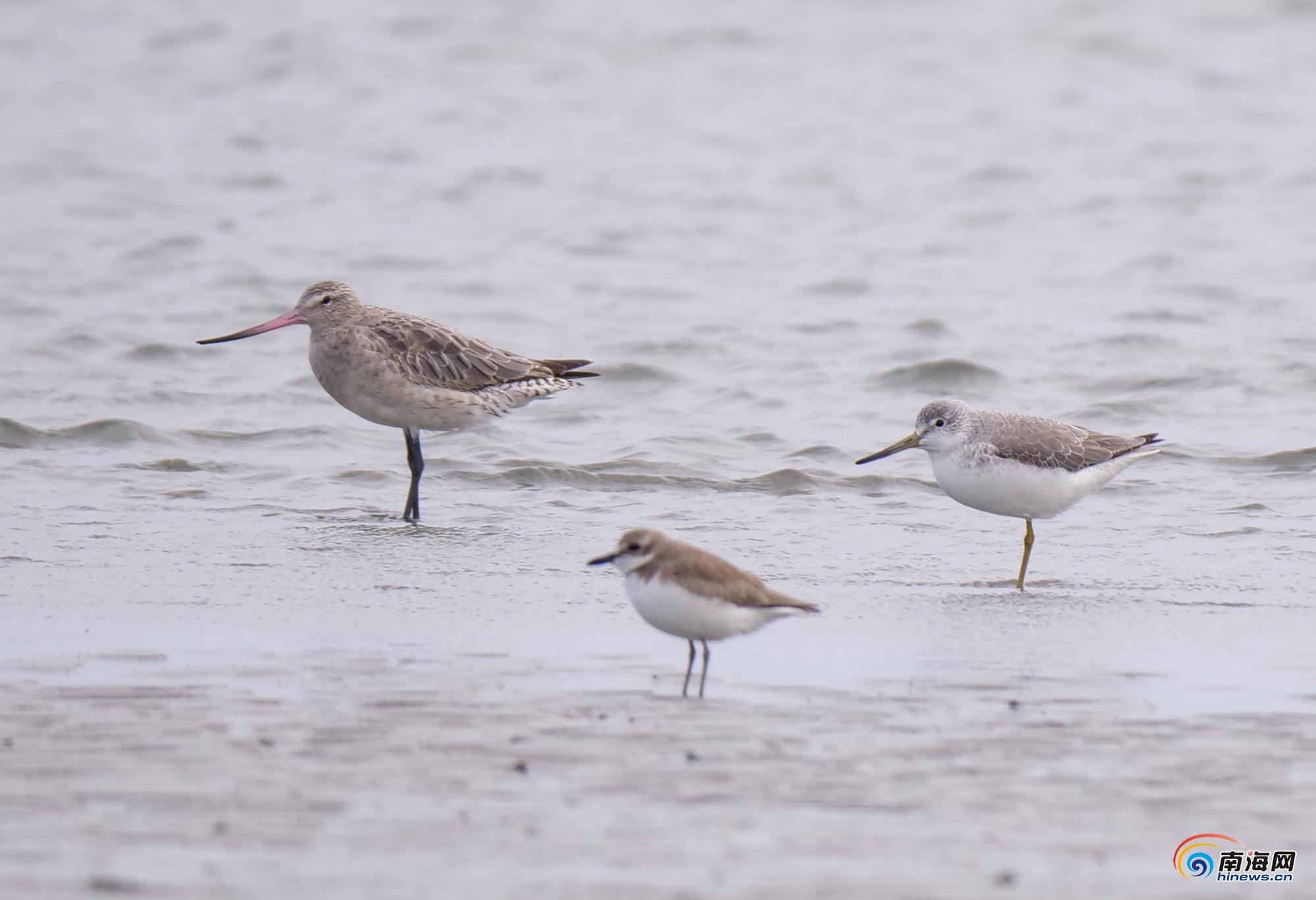 重庆时时彩做��k�ze&_2019海南越冬水鸟调查结果出炉 共监测到水鸟65种